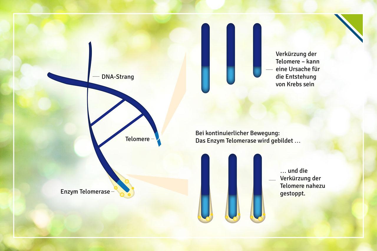 Durch kontinuierliche Bewegungseinheiten im Alltag wird das Enzym Telomerase gebildet, das die Verkürzung der Telomer-Endstücke in den DNA nahezu stoppt.